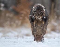 Wildschwein schaut das Fass hinunter und ist bereit zum Aufladen foto