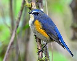 rot flankierter Bluetail, der schöne blaue Vogel, der auf einem Ast sitzt foto