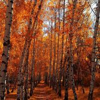 Herbstbirkenhain