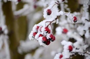 gefrorene Beere foto