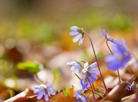 Frühling Leberblümchen in Nahaufnahme