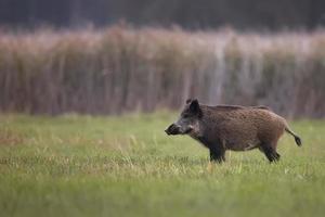Wildschwein auf einer Lichtung foto