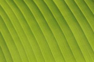 frisches Bananenblatt lokalisiert auf Weiß foto