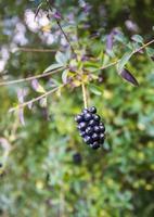 dunkle Beeren an einem Zweig foto