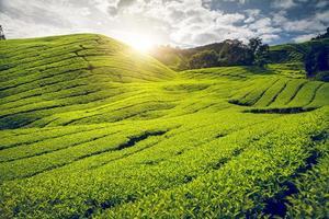 Teeplantage in Malaysia foto