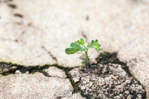 junge Pflanze in Rissbeton. foto