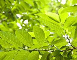 frische Blätter foto