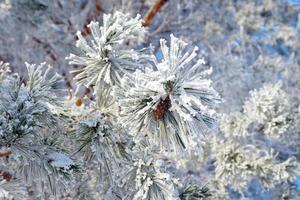 Zweige Kiefernschnee bedeckt