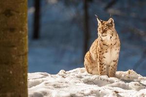 Luchsporträt auf dem Schneehintergrund foto