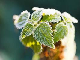 erster Frost auf grünen Brennnesselblättern im Herbst