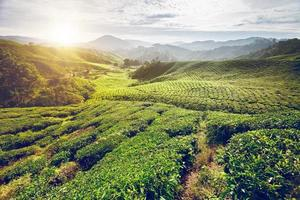 Teeplantage im Hochland von Cameron foto