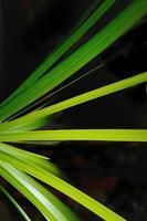 grüne Blätter isolieren auf schwarzem Hintergrund foto