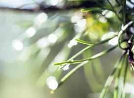 grüne Kiefer nach Regen mit Bokeh gebläht