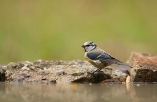 Blaumeise (Parus Caeruleus) foto