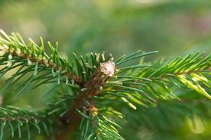Pech auf Tannenbaum