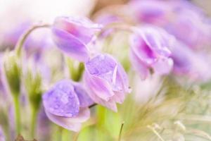 zarte Blumen Schneeglöckchen foto