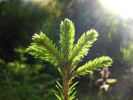 Zweig der Tanne und Sonnenlicht