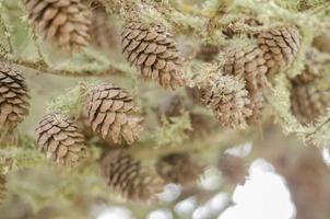 Tannenzapfen und Zweige. foto