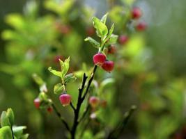 Busch einer jungen Heidelbeere in der Sommernahaufnahme