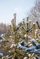 Winterbäume mit Schnee in der Kälte bedeckt foto