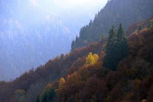 gelbe Bäume zwischen den grünen Tannen foto