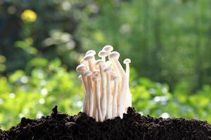 weißer Pilz auf dem Boden belebend. foto