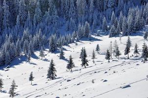 schneebedeckte Fichten in den Bergen foto