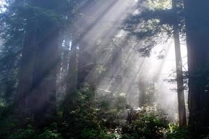 Sonnenstrahlen durch Redwood-Bäume