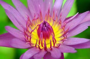 rosa Lotus auf dem Fluss