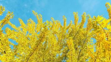 gelbe Blätter des Baumes
