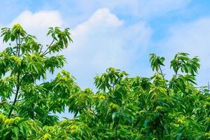 Kastanienbaum und grüne Kastanien foto