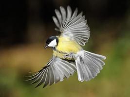 Kohlmeise im Flug mit weit geöffneten Flügeln