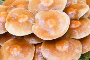 Agaric Pilze Hintergrund, feuchte Kappen nach Regen