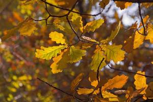Blätter Herbst auf den Zweigen der Eiche.