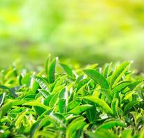 Nahaufnahme von Teeblättern. Teeplantagen in Indien