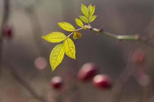 Blätter briar foto