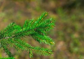 frischer grüner Tannenzweig