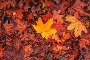 Herbstahorn in warmen Farben foto