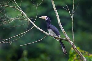 Porträt des orientalischen Rattenhornvogels (Anthracoceros albirostris)