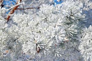 Zweig Kiefernschnee bedeckt