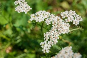 weiße wilde Blumen auf einem grünen Hintergrund foto