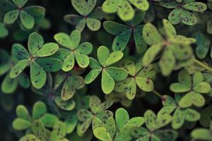 Waldsauerampfer Kleeblätter foto