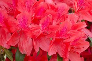 Azalee blüht am Baum (Rhododendron simsii planch)