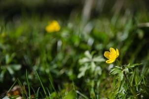 glänzende gelbe Frühlingsblume foto
