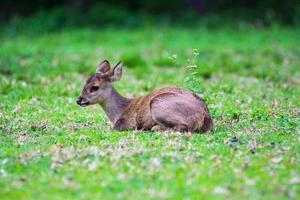 Schweinehirsch auf dem Feld, Phukhieo Wildlife Sanctuary, Provinz Chaiyaphum. Thailand