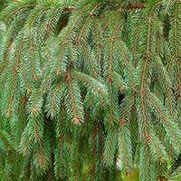 hellgrüne stachelige Zweige eines Weihnachtsbaumes
