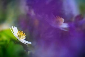 schöne Anemone foto