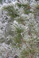 Zweig Kiefern-Raureif bedeckt