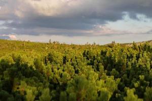 beeindruckender Tannenbaum und Latschenkiefer