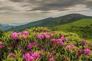 Nahaufnahme von Rhododendron auf Jane Glatze